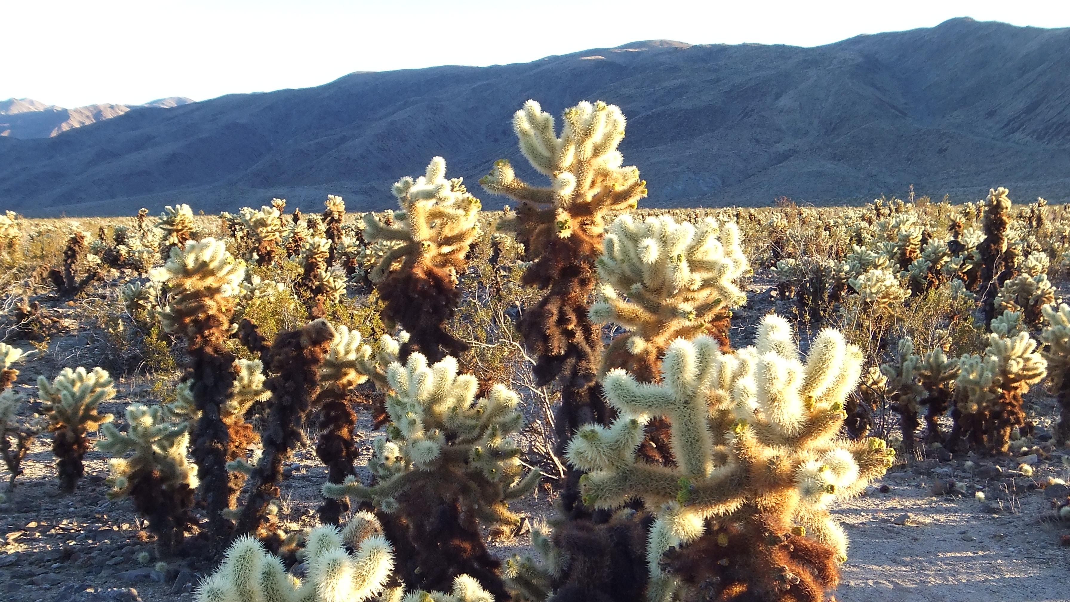 Cholla Cactus Garden Joshua Tree 3d