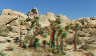 Unusual group of Joshua Trees