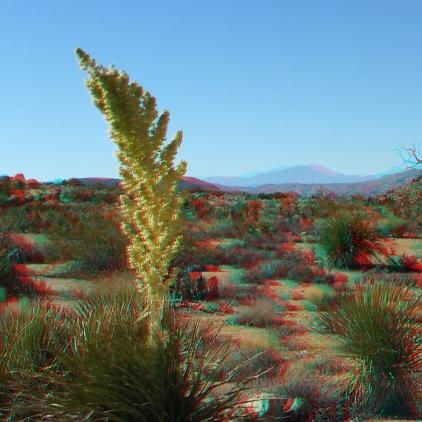 Queen Valley nolina bloom 3DA 1080p DSCF7989