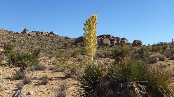 Queen Valley nolina bloom DSCF7996