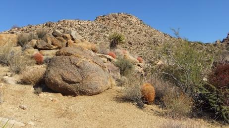 Queen Valley red barrel cactus DSCF7920