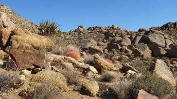 Queen Valley red barrel cactus DSCF7923