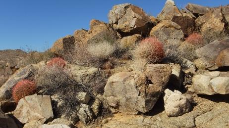 Queen Valley red barrel cactus DSCF7929