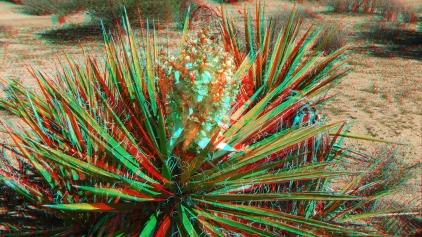 Lower Covington Flat Joshua Tree NP 3DA 1080p DSCF3881
