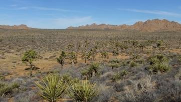 quail-springs-area-joshua-tree-dscf5271