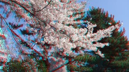 Sendai 2013 Cherry Blossoms 3DA 1080p DSCF0061