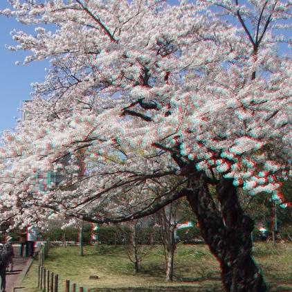 Sendai 2013 Cherry Blossoms 3DA 1080p DSCF0062
