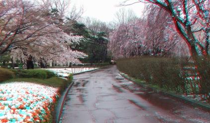 Sendai 2013 Cherry Blossoms 3DA 1080p DSCF0081