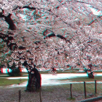 Sendai 2013 Cherry Blossoms 3DA 1080p DSCF0082