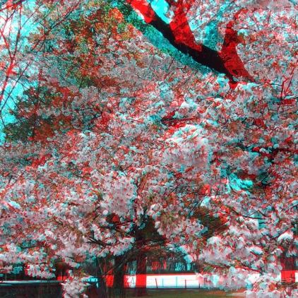 Sendai 2013 Cherry Blossoms 3DA 1080p DSCF0083
