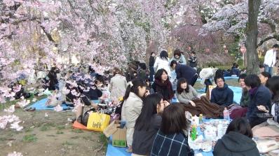 Sendai 2013 Cherry Blossoms DSCF0048