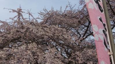 Sendai 2013 Cherry Blossoms DSCF0054