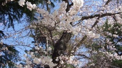 Sendai 2013 Cherry Blossoms DSCF0057