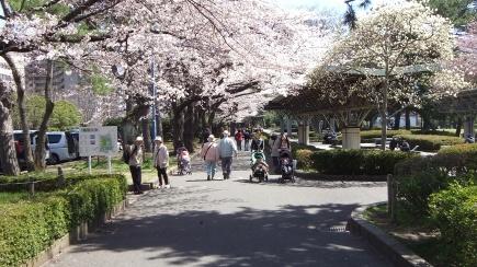 Sendai 2013 Cherry Blossoms DSCF0058