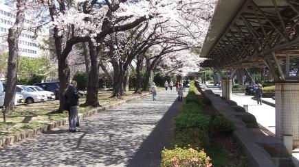 Sendai 2013 Cherry Blossoms DSCF0059