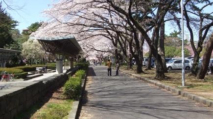 Sendai 2013 Cherry Blossoms DSCF0060