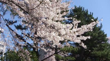 Sendai 2013 Cherry Blossoms DSCF0061
