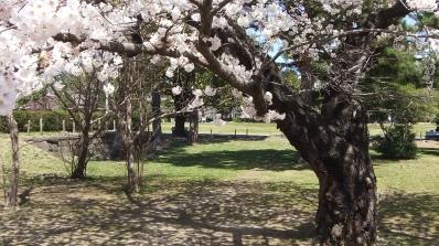 Sendai 2013 Cherry Blossoms DSCF0063