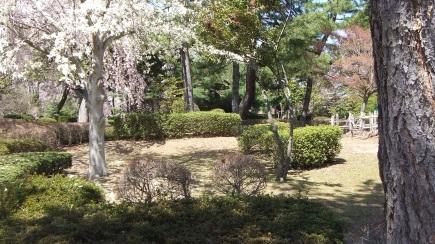 Sendai 2013 Cherry Blossoms DSCF0065
