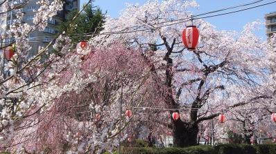 Sendai 2013 Cherry Blossoms DSCF0066