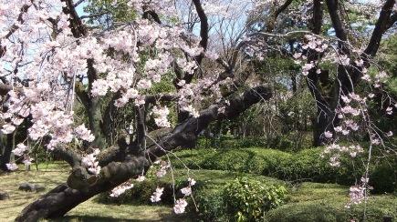 Sendai 2013 Cherry Blossoms DSCF0067