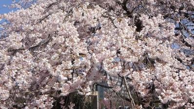 Sendai 2013 Cherry Blossoms DSCF0068