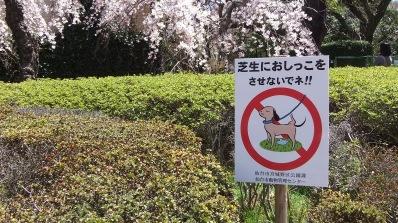 Sendai 2013 Cherry Blossoms DSCF0070