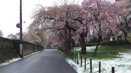 Sendai 2013 Cherry Blossoms DSCF0072