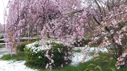 Sendai 2013 Cherry Blossoms DSCF0074