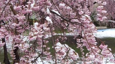 Sendai 2013 Cherry Blossoms DSCF0075