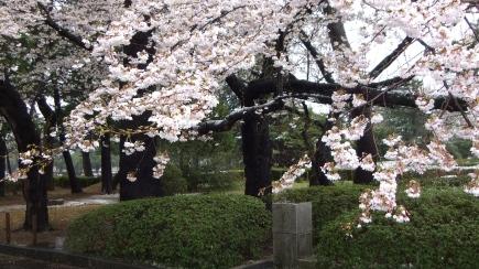 Sendai 2013 Cherry Blossoms DSCF0077