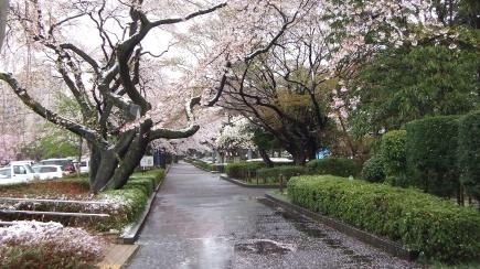 Sendai 2013 Cherry Blossoms DSCF0078