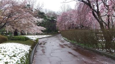 Sendai 2013 Cherry Blossoms DSCF0081