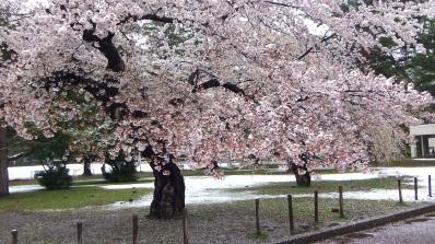 Sendai 2013 Cherry Blossoms DSCF0082