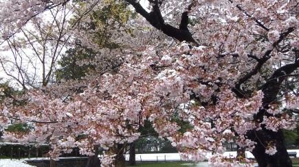 Sendai 2013 Cherry Blossoms DSCF0083