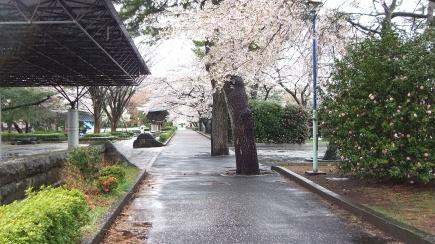 Sendai 2013 Cherry Blossoms DSCF0084