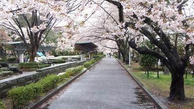 Sendai 2013 Cherry Blossoms DSCF0085