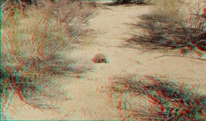 Indian Cove Desert Tortoise 1080p 3DA DSCF7203
