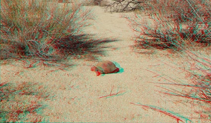 Indian Cove Desert Tortoise 1080p 3DA DSCF7205