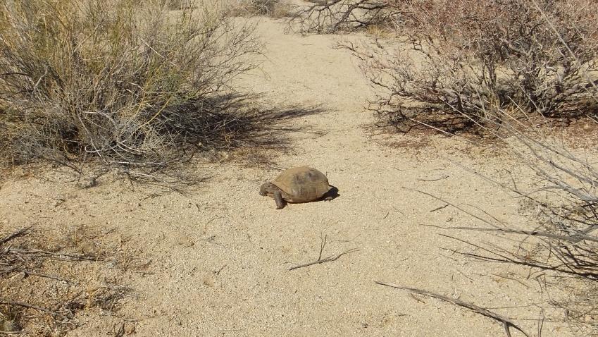 Indian Cove Desert Tortoise DSCF7205