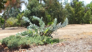 Huntington Australia Garden DSCF1642