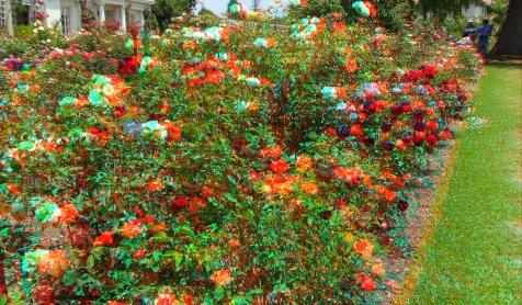 Huntington Rose Garden 3DA 1080p DSCF1119