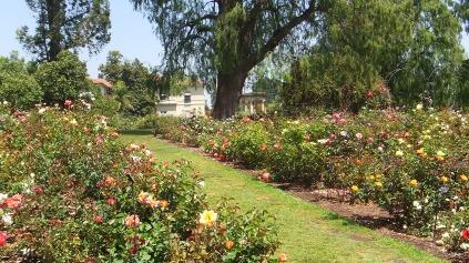 Huntington Rose Garden DSCF0308