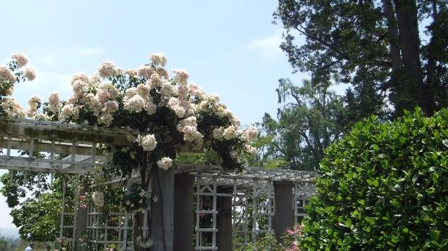 Huntington Rose Garden DSCF1045