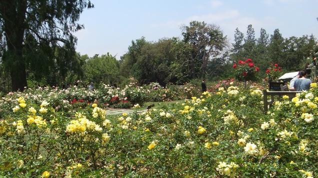 Huntington Rose Garden DSCF1054
