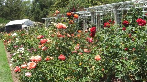 Huntington Rose Garden DSCF1064