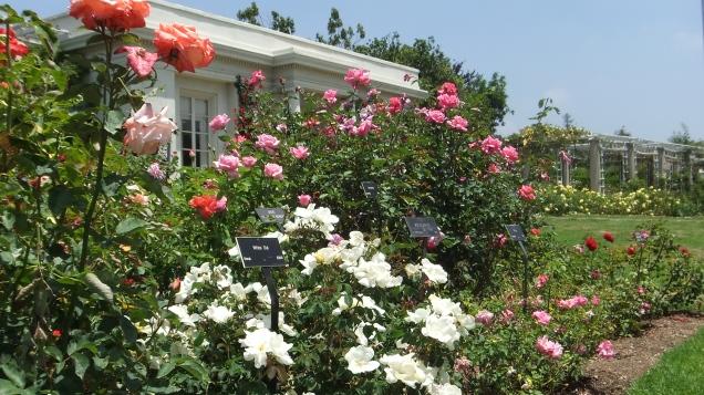 Huntington Rose Garden DSCF1068