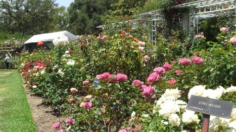 Huntington Rose Garden DSCF1078