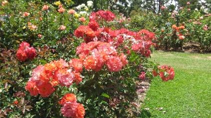 Huntington Rose Garden DSCF1083