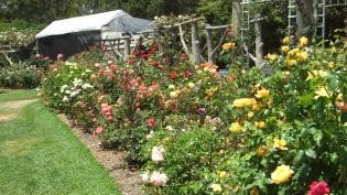 Huntington Rose Garden DSCF1092